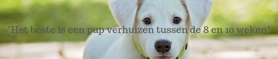 _Het beste is een pup verhuizen tussen de 8 en 10 weken_